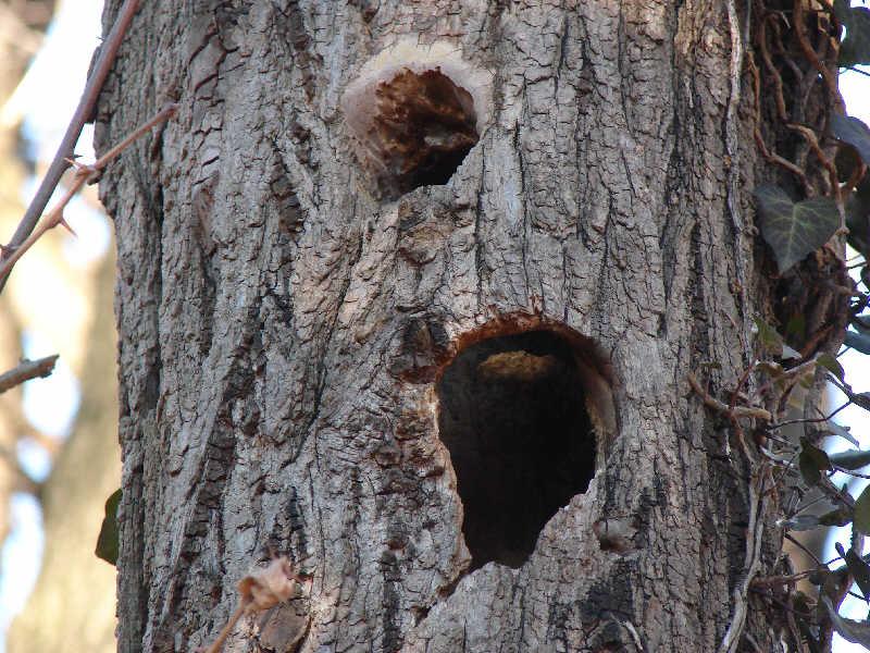 Nido di picchio su una robinia for Il nido del picchio